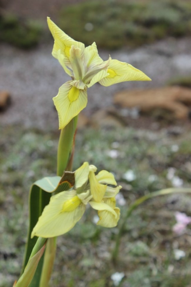 Wildflowers in Lesotho