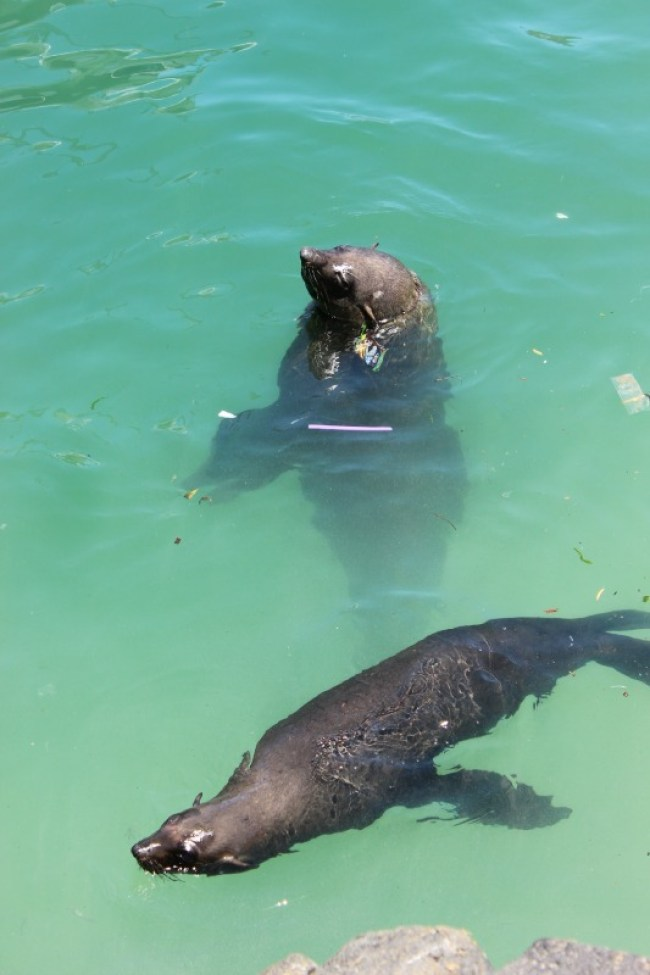 Cheeky seals at beautiful Hout Bay - one of the best places to visit in Cape Town