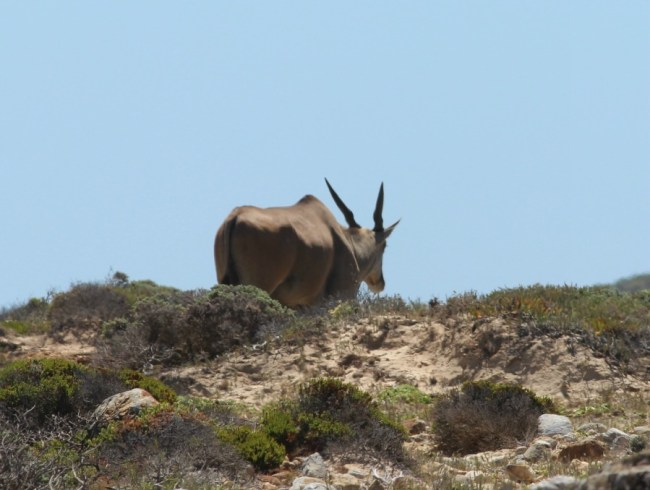 Eland at the Cape of Good Hope in South Africa