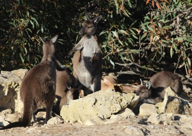 Fighting Kangaroos on Kangaroo Island