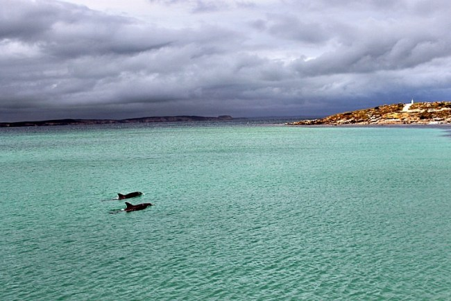 Vivonne Bay dolphins on Kangaroo Island