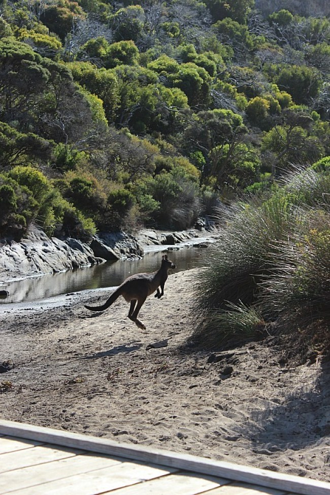 Kangaroo on a Kangaroo Island walk