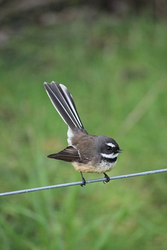 Fantail at Tawharanui Regional Park in North Auckland