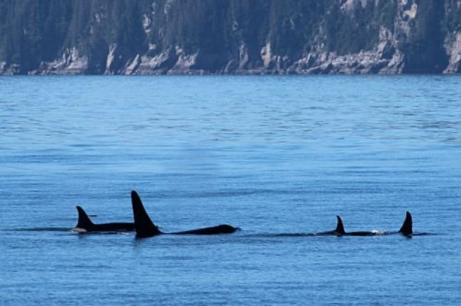 Spotting Orcas in Kenai Fjords National Park, Alaska during month one of digital nomad life