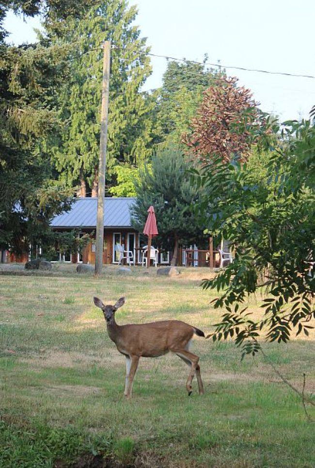 Deer roaming wild on Denman Island, Canada