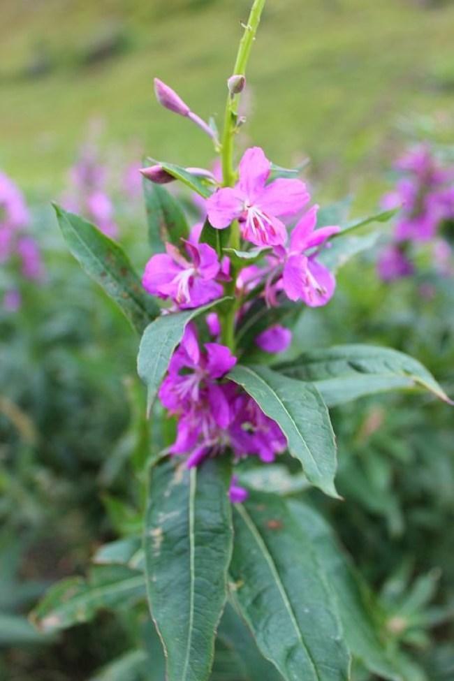 Wildflowers on Flattop Mountain