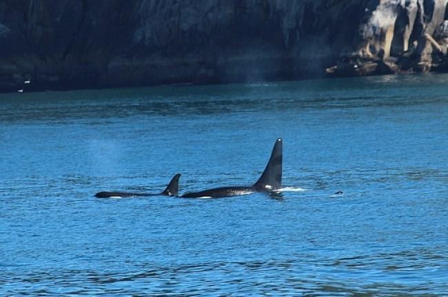 Orcas in Kenai Fjords National Park in Alaska