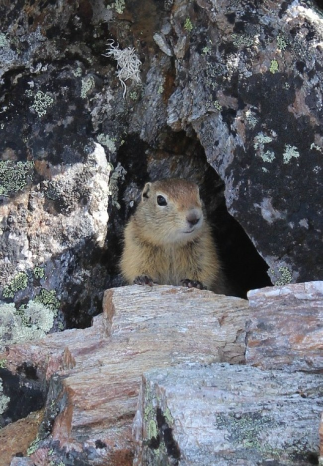 A Ground Squirrel - just some of the Denali wildlife
