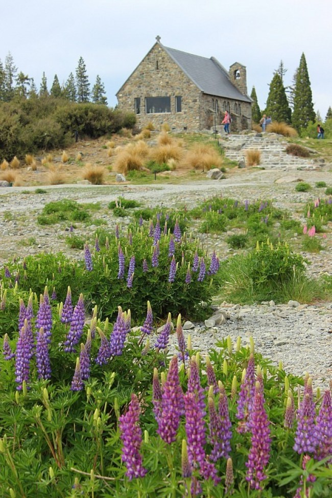 Lupines in Tekapo during month five of digital nomad life