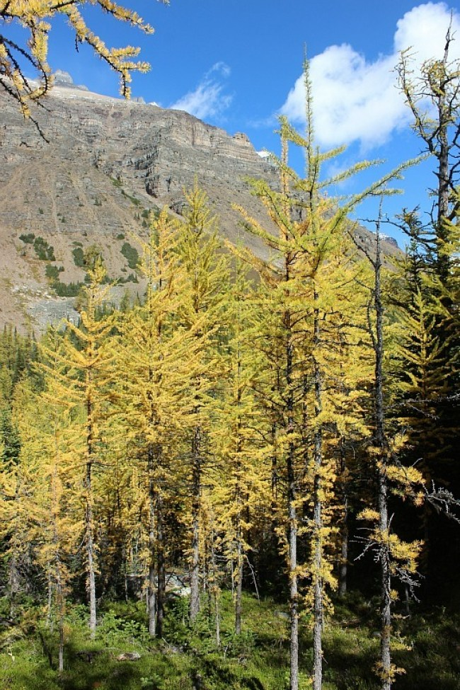 Golden larches in Larch Valley - one of the best fall hikes in Banff National Park