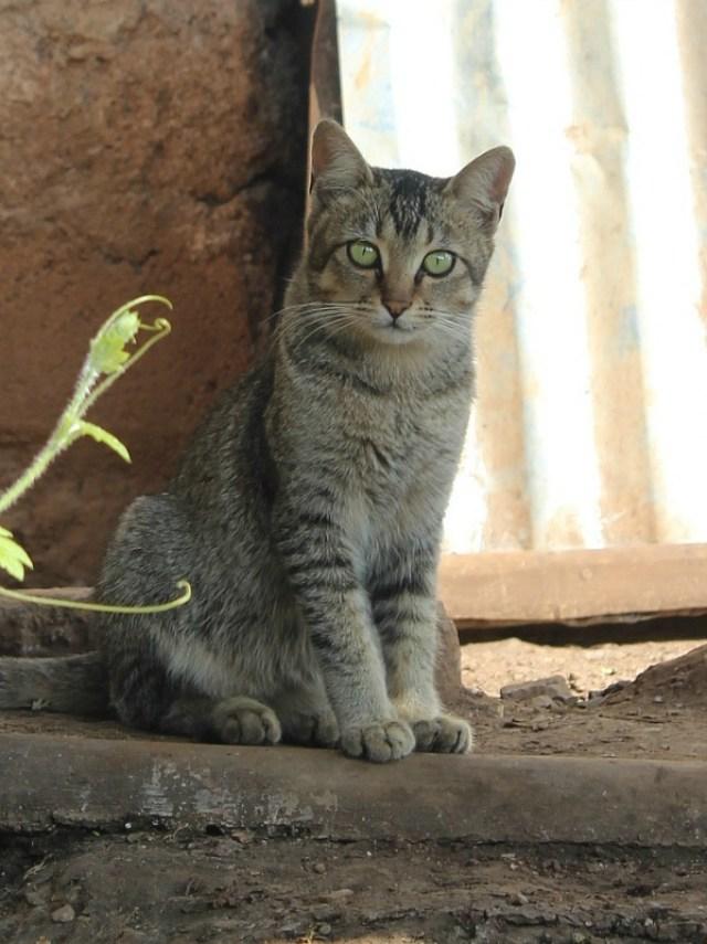 Myanmar kitty - seen during trekking Kalaw to Inle Lake