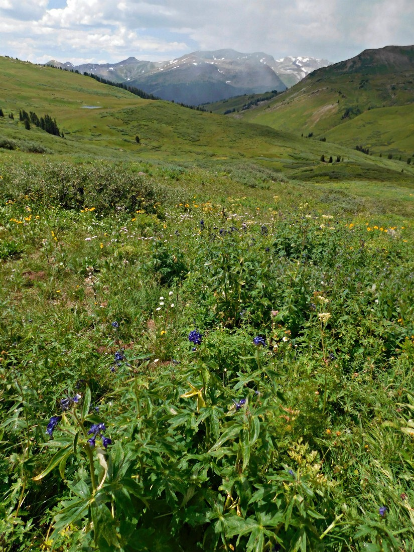 Wildflowers on the East Maroon Pass trail from Crested Butte to Aspen