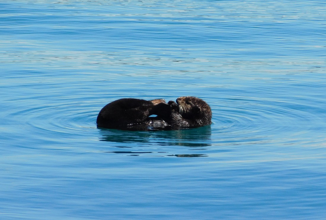 Sea otter in Morro Bay, California