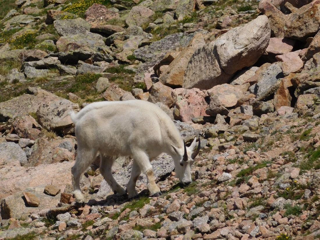 Mountain goat in Colorado