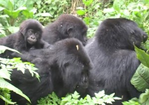 Gorilla Family of 4