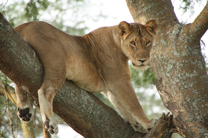 Ishasha, tree climbing lions, lion, uganda, africa