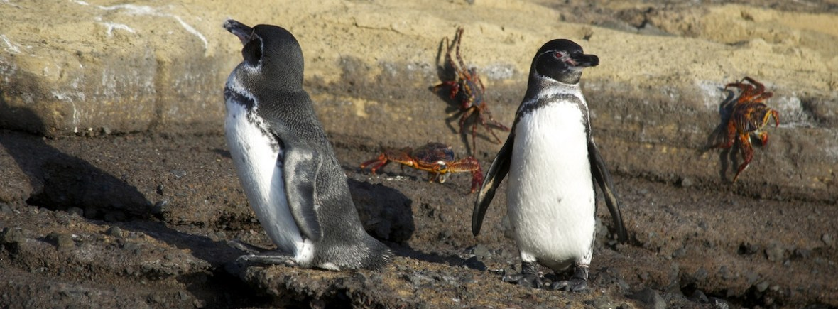 Best places to see Galapagos penguins, WildSide, World Wild Web