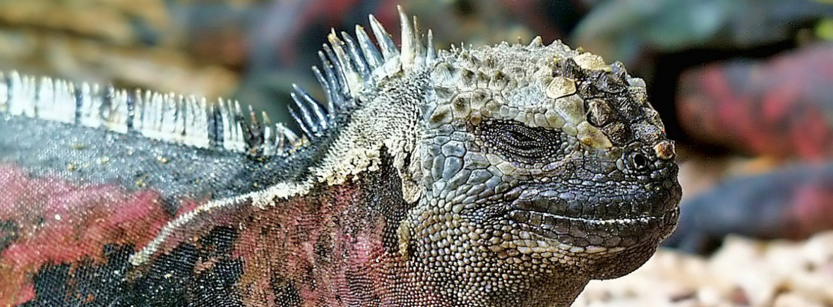 Best places to see marine iguanas, Galapagos Islands, WildSide, World Wild Web