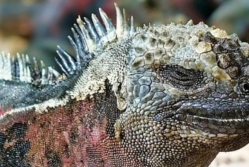 Best places to see marine iguanas, Galapagos Islands, WildSide, World Wild Web
