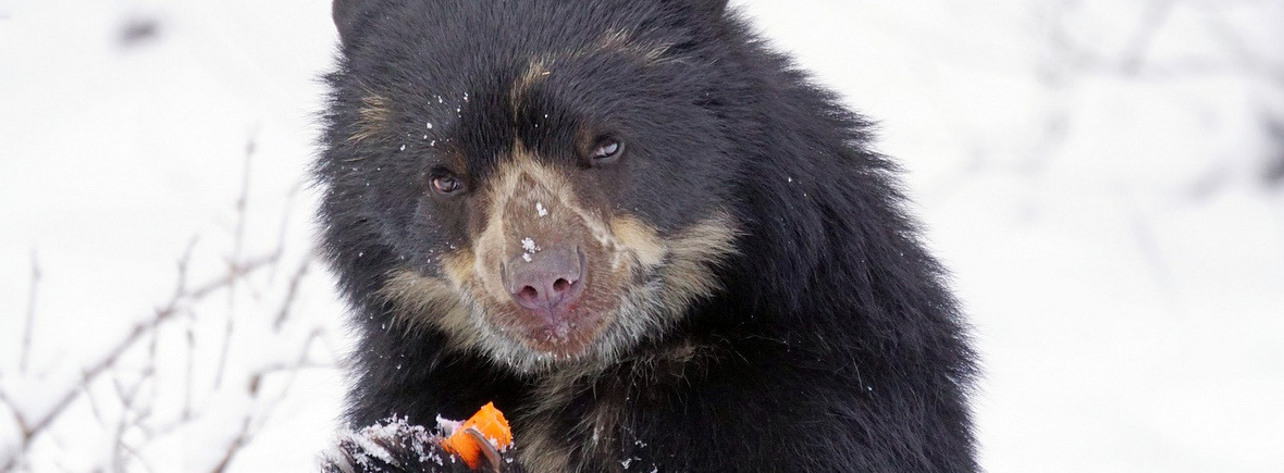 Best places to see spectacled bears, WildSide, World Wild Web