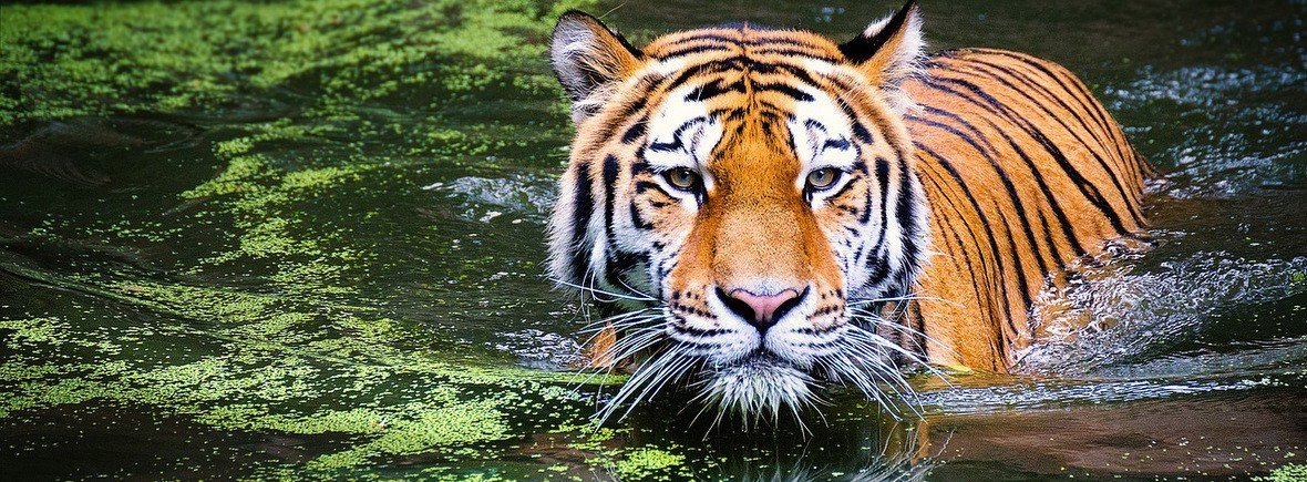 Best places to see tigers, WildSide, World Wild Web
