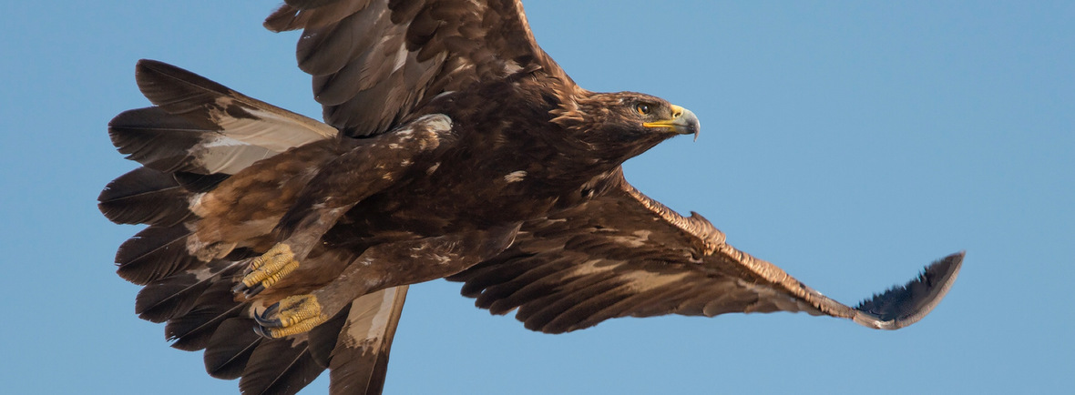 Best places to see golden eagles, WildSide, World Wild Web