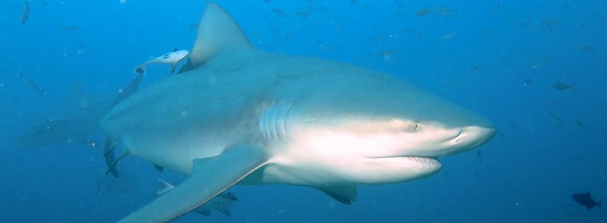 Best places to see bull sharks, WildSide, World Wild Web