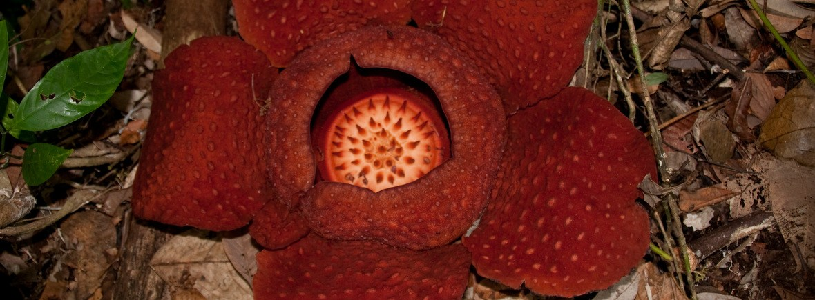 Best places to see rafflesia, WildSide, World Wild Web
