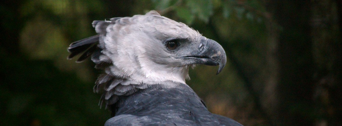 best places to see harpy eagles, wildside, world wild web
