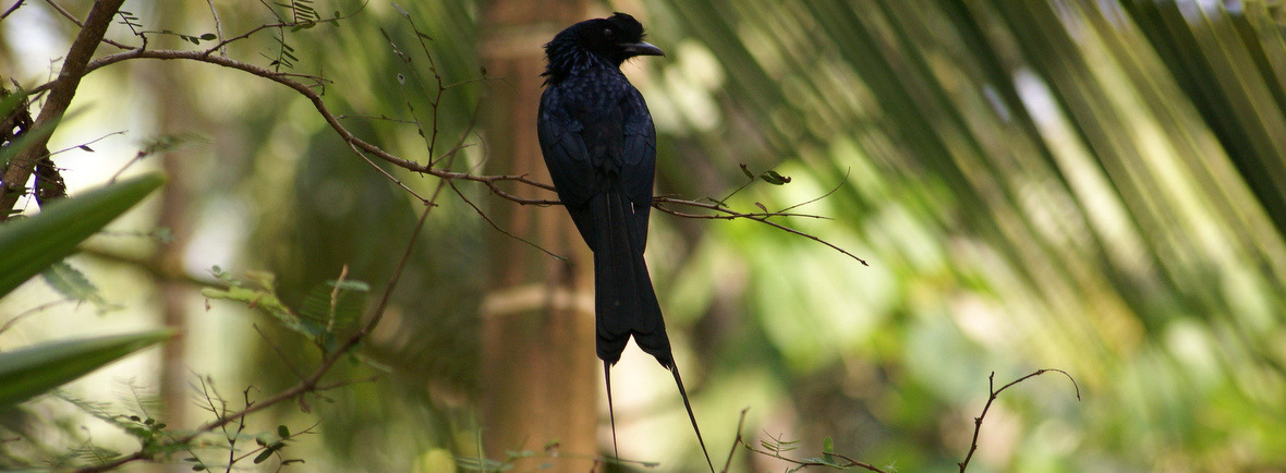 where to see racket-tailed drongos, wildside, world wild web