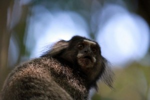 marmoset ilha grande, wildside, world wild web