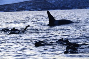 snorkelling with orcas, wildside, world wild web