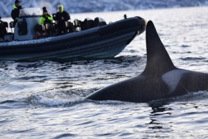 swimming with orcas Norway, WildSide, World Wild Web