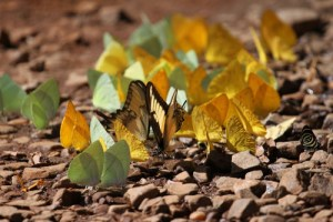 butterflies iguazu, wildside, world wild web