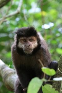 capuchin iguazu, wildside, world wild web