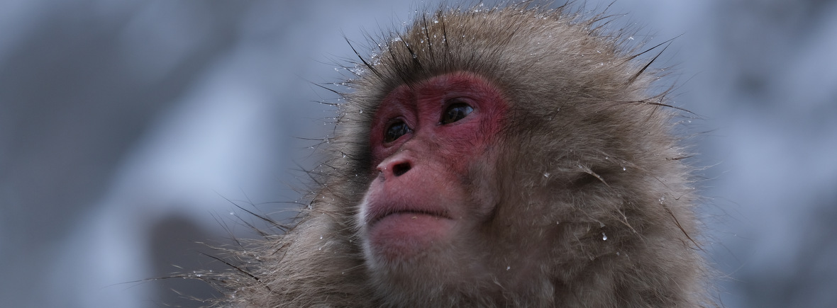 where to see macaques, wildside, world wild web