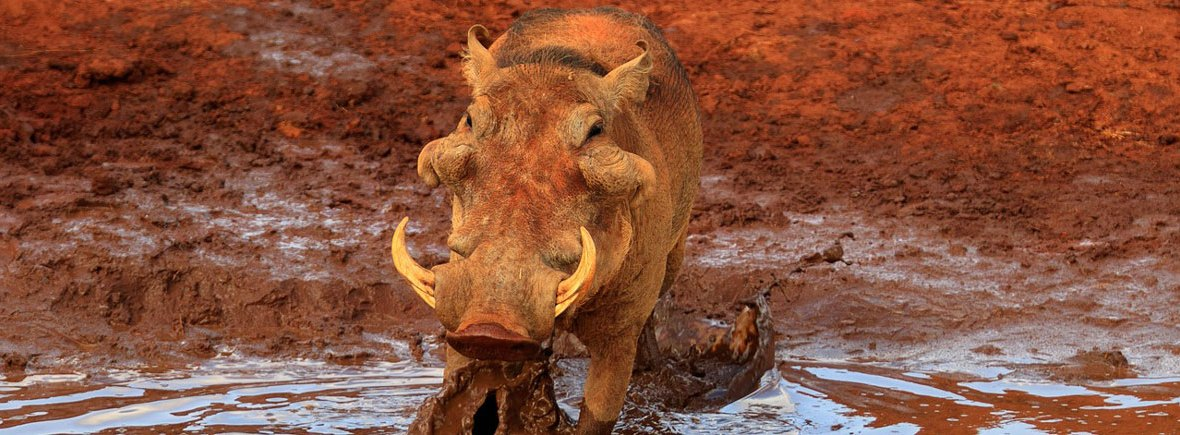 where to see warthogs, wildside, world wild web