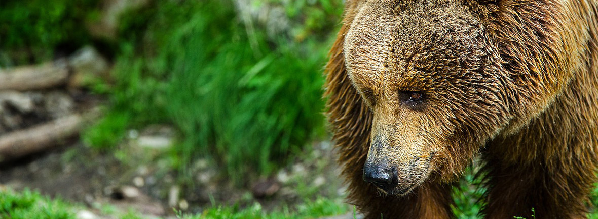 where to see brown bears, wildside, world wild web