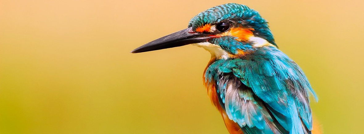 where to see kingfishers, wildside, world wild web