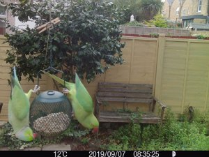 parakeet london localwild wildside world wild web