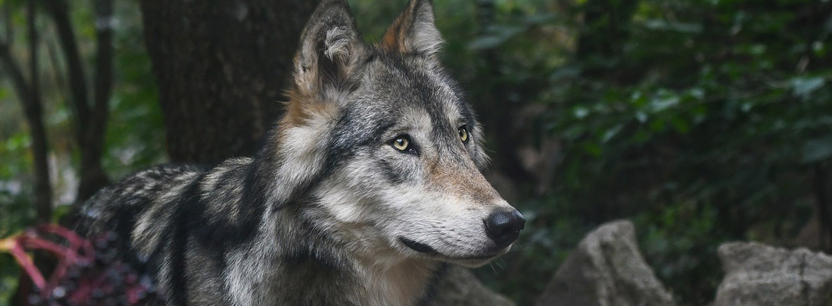 where to see wolves, wildside, world wild web