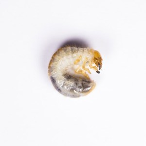 chafer grub, wildside world wild web