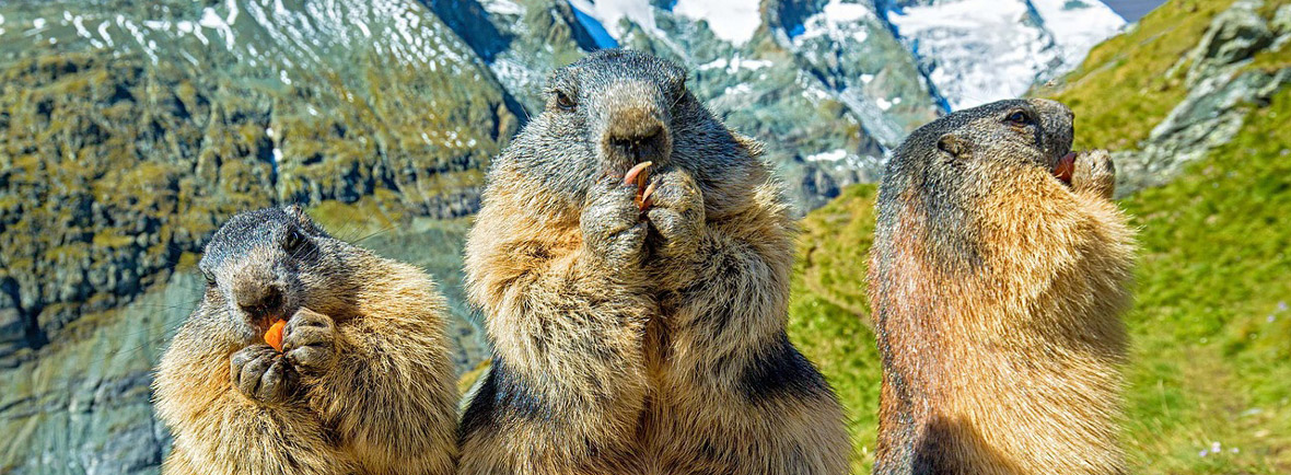 where to see marmots, wildside, world wild web