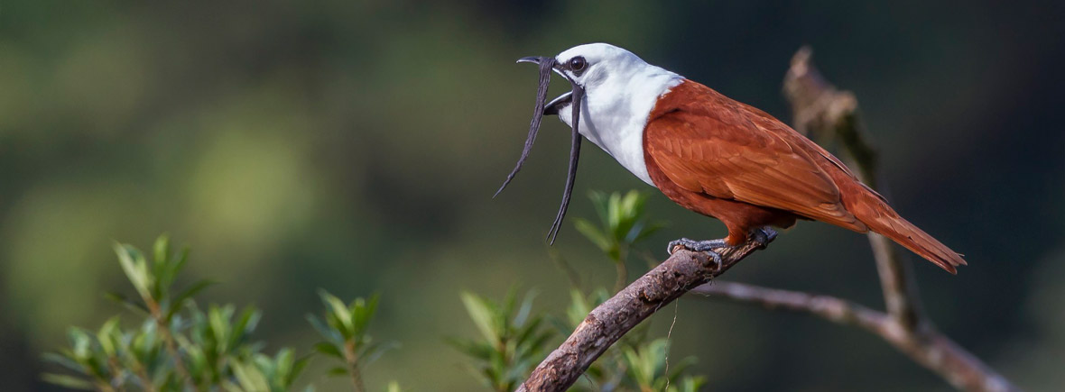where to see three-wattled bellbirds, wildside, world wild web