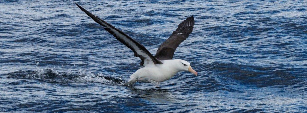 where to see black-browed albatross, wildside, world wild web