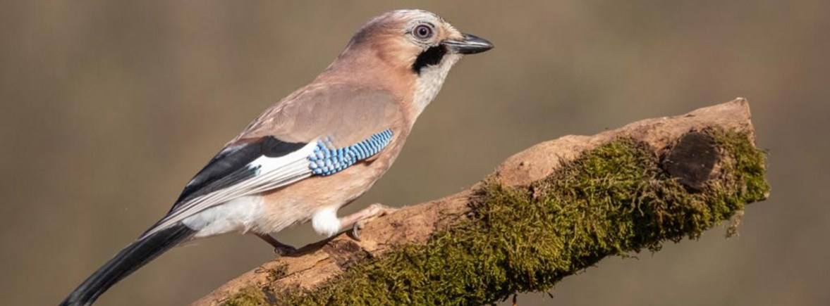 where to see Eurasian jays, wildside, world wild web