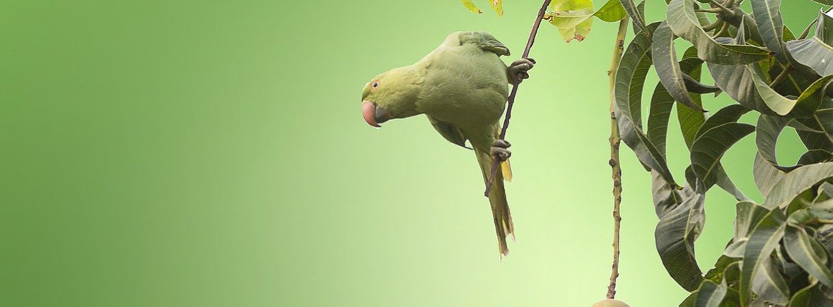 where to see ring necked parakeets wildside world wild web
