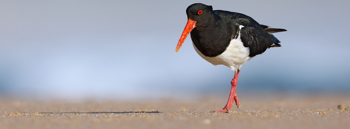 where to see oystercatchers, wildside, world wild web