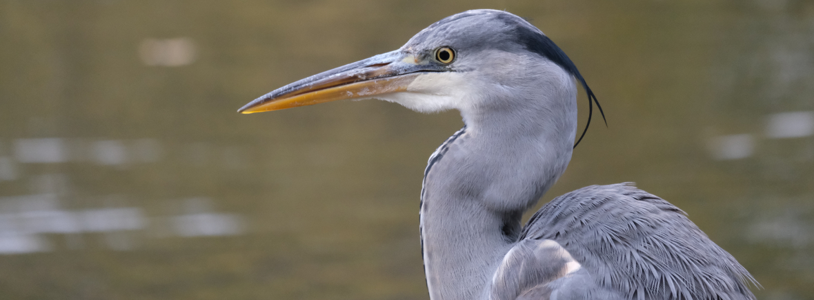where to see grey herons wildside world wild web