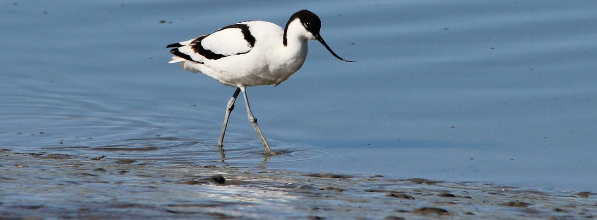 where to see avocets, wilside, world wild web